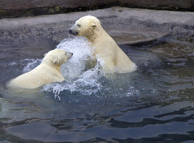 Russia. Moscow zoo. The polar bear. Moscow zoo is one of the largest and the oldest zoos in Russia. Founded in 1864. The collection includes 1150 species of royalty free stock image