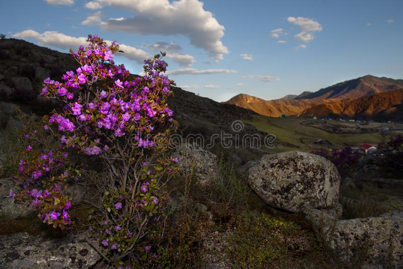 Rhododendron bloom. Russia. Mountain Altai. Chuyskiy tract in the period of the flowering of Maralnik Rhododendron Ledebourii royalty free stock photography