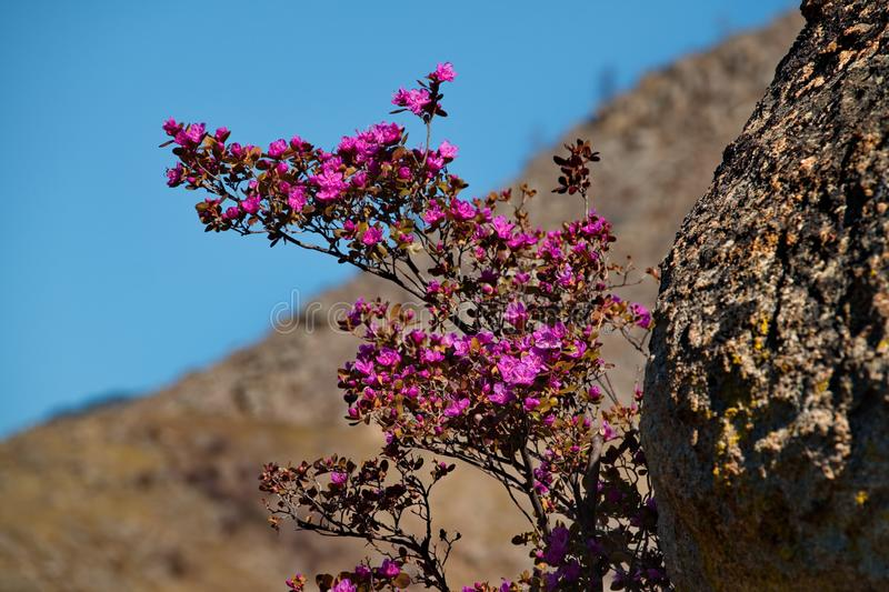 Spring rhododendron bloom. Russia. Mountain Altai. Chuyskiy tract in the period of the flowering of Maralnik Rhododendron Ledebourii stock image