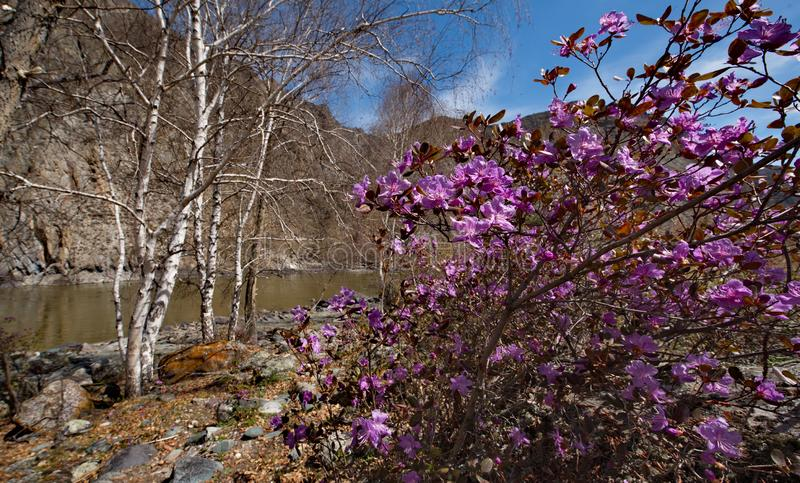 Spring rhododendron bloom. Russia. Mountain Altai. Chuyskiy tract in the period of the flowering of Maralnik Rhododendron Ledebourii stock photo