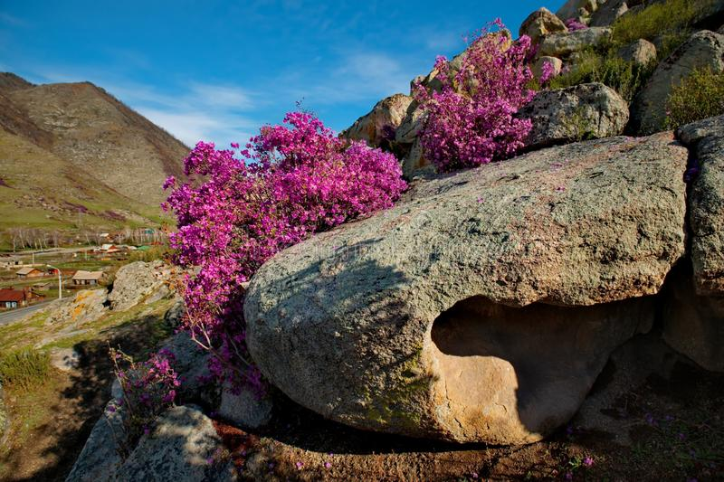Rhododendron bloom. Russia. Mountain Altai. Chuyskiy tract in the period of the flowering of Maralnik Rhododendron royalty free stock photography