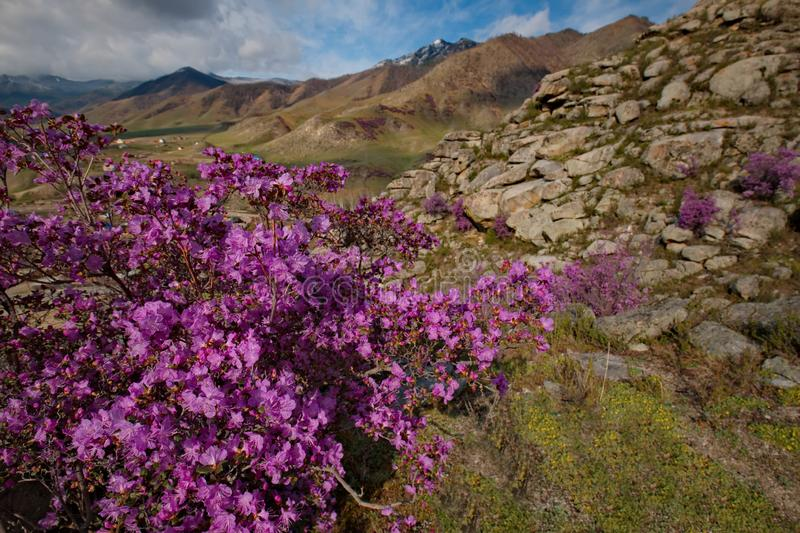 Rhododendron bloom. Russia. Mountain Altai. Chuyskiy tract in the period of the flowering of Maralnik Rhododendron royalty free stock image