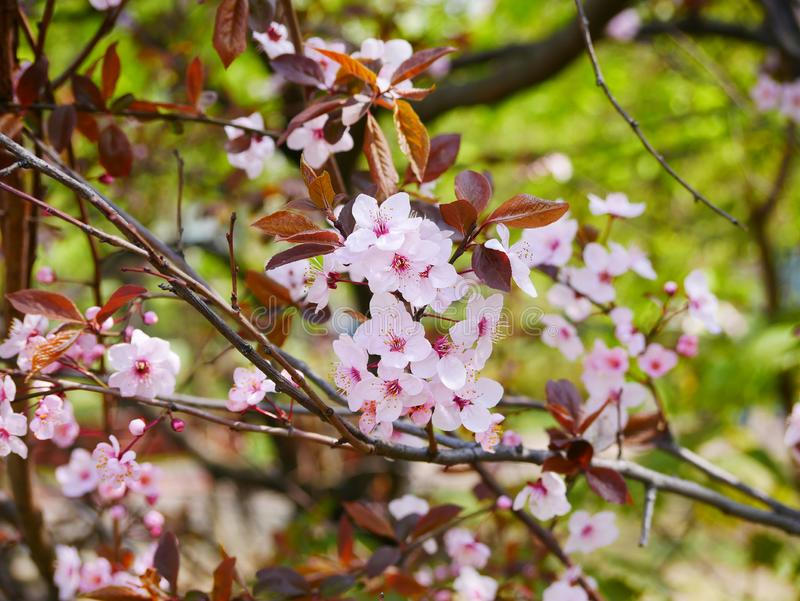 Pink cherry flowers on a branch in the spring in the city Park. Russia. pink cherry flowers on a branch in the spring in the city Park royalty free stock photo