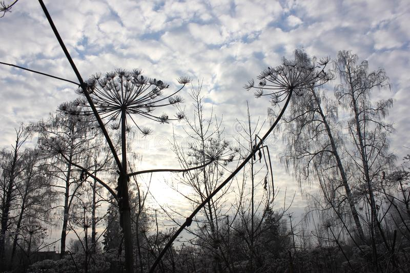 Hogweed in Russia. Russia. It`s a very wonderful country. Snow, clouds and... huge hogweed stock images
