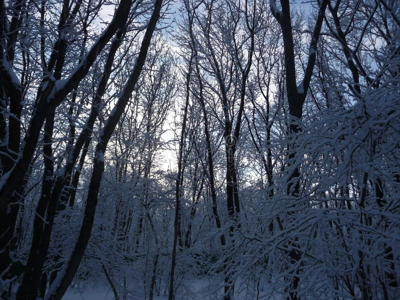 Russia. Snowy winter forest in the Stavropol `Taman Forest Dacha`. Russia. Snowy winter in the Stavropol forest `Taman forest Dacha`. February 2017 stock images