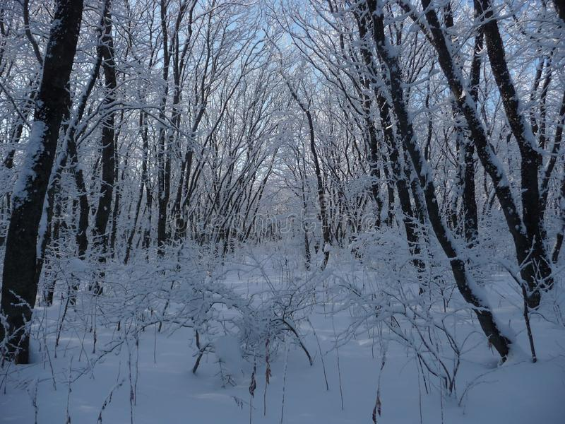 Russia. Snowy winter forest in the Stavropol `Taman Forest Dacha`. Russia. Snowy winter in the Stavropol forest `Taman forest Dacha`. February 2017 royalty free stock photography