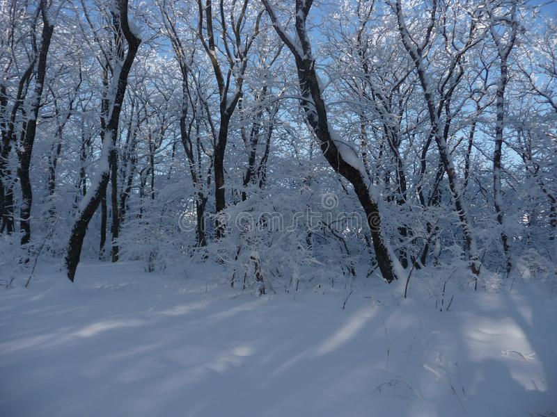 Russia. Snowy winter forest in the Stavropol `Taman Forest Dacha`. Russia. Snowy winter in the Stavropol forest `Taman forest Dacha`. February 2017 stock photo