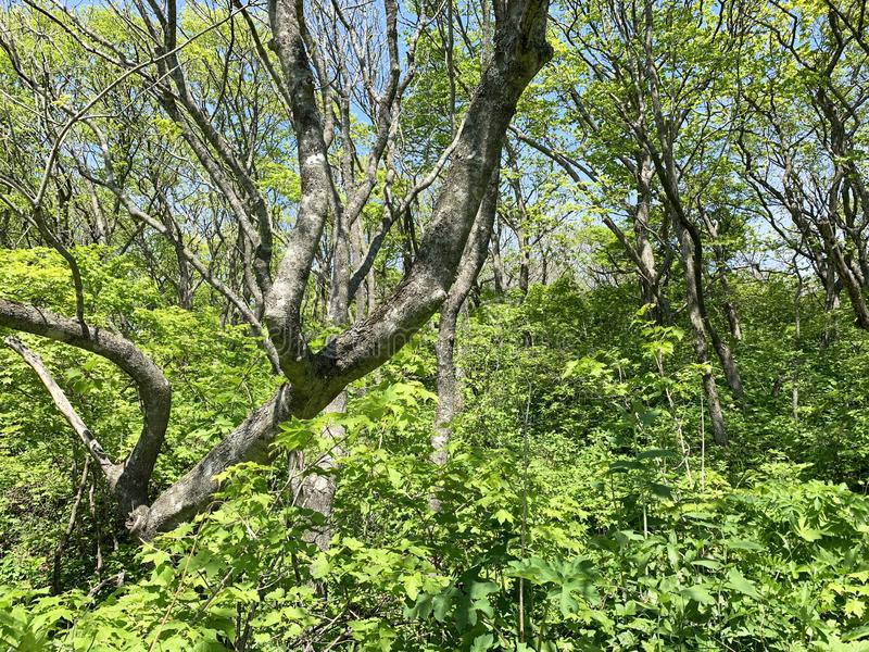 Russia, Vladivostok. Deciduous forest on the island of Shkot in may.  stock photos