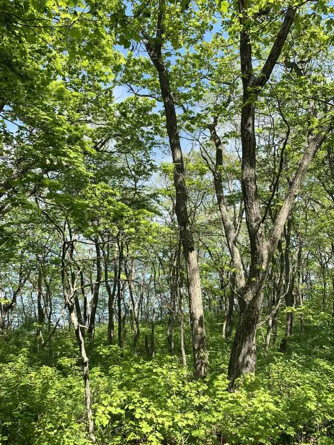 Russia, Vladivostok. Deciduous forest on the island of Shkot in may.  stock photography