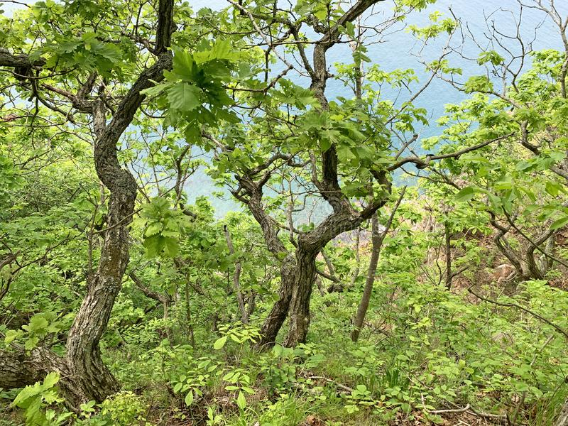 Russia, Vladivostok. Deciduous forest on the island of Shkot in summer.  royalty free stock photo