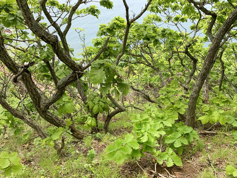 Russia, Vladivostok. Oak forest on the island of Shkot in summer.  royalty free stock images
