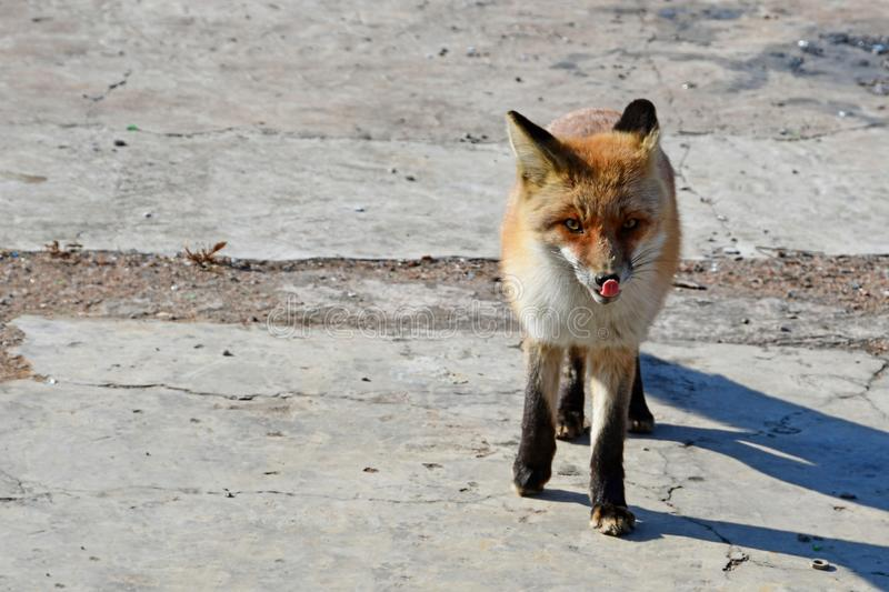Russia,Vladivostok, red Fox came out to people in search of food in the winter in frosty day and stuck out his tongue stock images