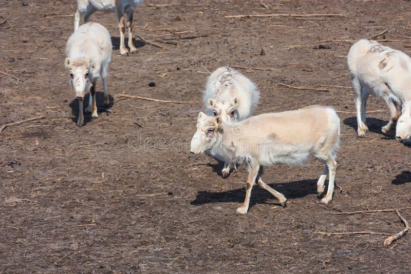 Russian antelope or Saiga tatarica stock photography
