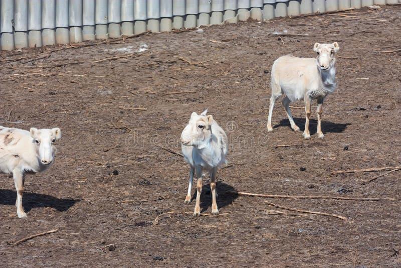 Russian antelope or Saiga tatarica royalty free stock image