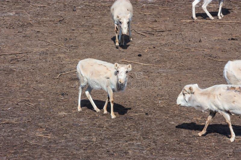 Russian antelope or Saiga tatarica royalty free stock photography