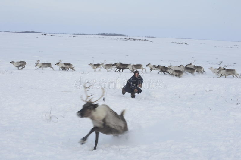 Russian Arctic Aboriginal !. A herd of deer in the Russian Arctic. Reindeer graze on the tundra of the Russian North. Arctic Circle. Priuralsky district of Yamal stock images