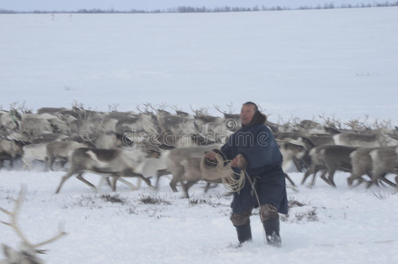 Russian Arctic Aboriginal !. A herd of deer in the Russian Arctic. Reindeer graze on the tundra of the Russian North. Arctic Circle. Priuralsky district of Yamal stock photos
