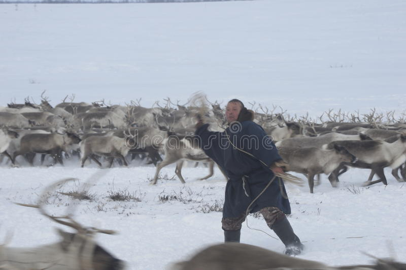 Russian Arctic Aboriginal !. A herd of deer in the Russian Arctic. Reindeer graze on the tundra of the Russian North. Arctic Circle. Priuralsky district of Yamal stock photography