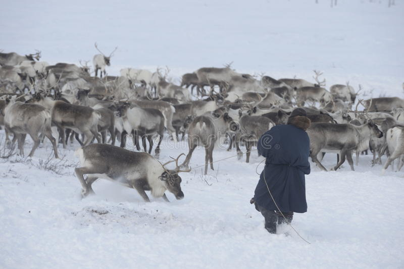 Russian Arctic Aboriginal !. A herd of deer in the Russian Arctic. Reindeer graze on the tundra of the Russian North. Arctic Circle. Priuralsky district of Yamal royalty free stock photo
