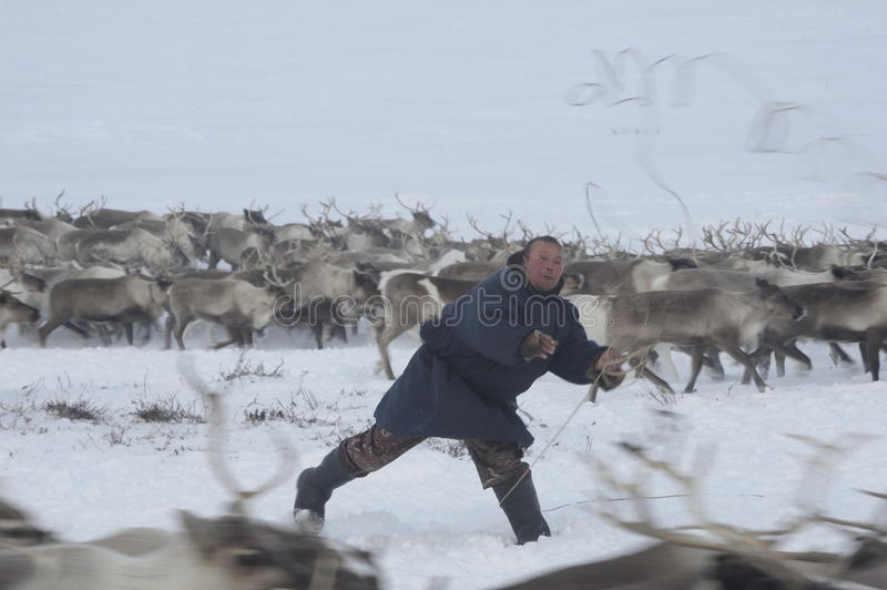 Russian Arctic Aboriginal !. A herd of deer in the Russian Arctic. Reindeer graze on the tundra of the Russian North. Arctic Circle. Priuralsky district of Yamal royalty free stock images