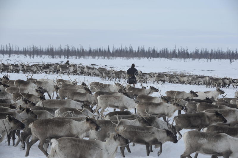 Russian Arctic Aboriginal !. A herd of deer in the Russian Arctic. Reindeer graze on the tundra of the Russian North. Arctic Circle. Priuralsky district of Yamal royalty free stock photography