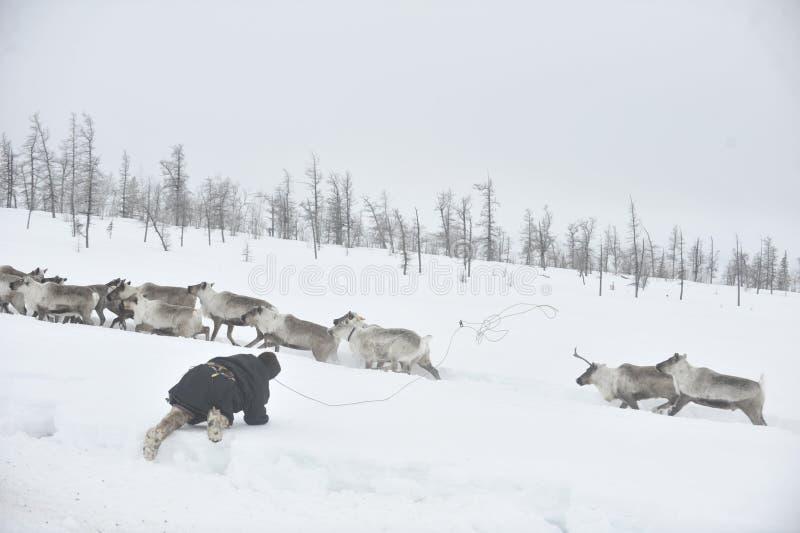 Russian Arctic Aboriginal. Herd of deer in the Russian Arctic. Reindeer graze on the tundra of the Russian North. Arctic Circle. Priuralsky district of Yamal stock image
