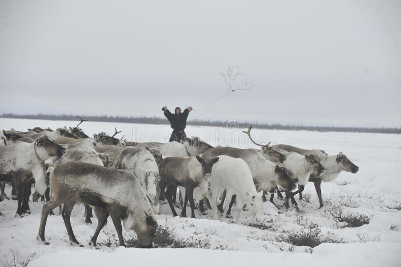 Russian Arctic Aboriginal. Herd of deer in the Russian Arctic. Reindeer graze on the tundra of the Russian North. Arctic Circle. Priuralsky district of Yamal royalty free stock image