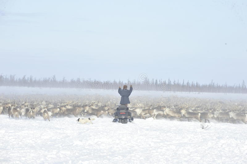 Russian Arctic Aboriginal. Herd of deer in the Russian Arctic. Reindeer graze on the tundra of the Russian North. Arctic Circle. Priuralsky district of Yamal stock photo