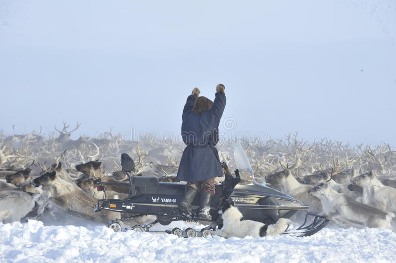 Russian Arctic Aboriginal. Herd of deer in the Russian Arctic. Reindeer graze on the tundra of the Russian North. Arctic Circle. Priuralsky district of Yamal royalty free stock photos