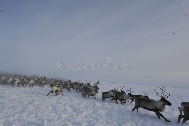 Russian Arctic Aboriginal. Herd of deer in the Russian Arctic. Reindeer graze on the tundra of the Russian North. Arctic Circle. Priuralsky district of Yamal stock image