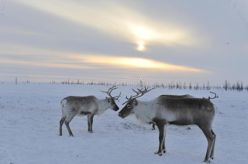 Russian Arctic Aboriginal. Herd of deer in the Russian Arctic. Reindeer graze on the tundra of the Russian North. Arctic Circle. Priuralsky district of Yamal stock photography