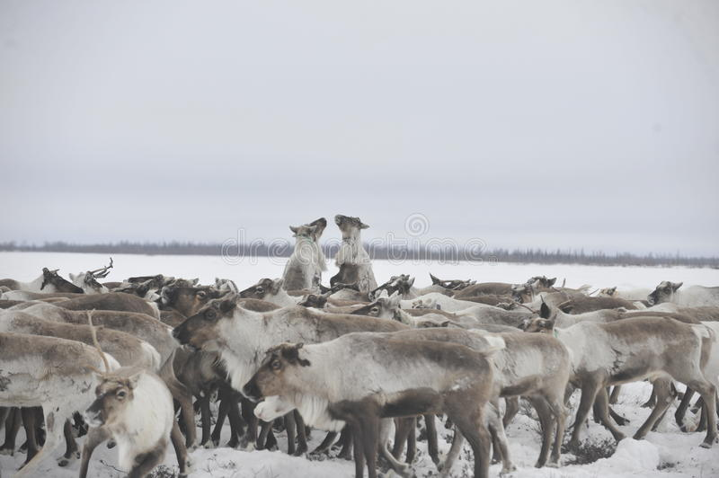 Russian Arctic Aboriginal. Herd of deer in the Russian Arctic. Reindeer graze on the tundra of the Russian North. Arctic Circle. Priuralsky district of Yamal royalty free stock photo