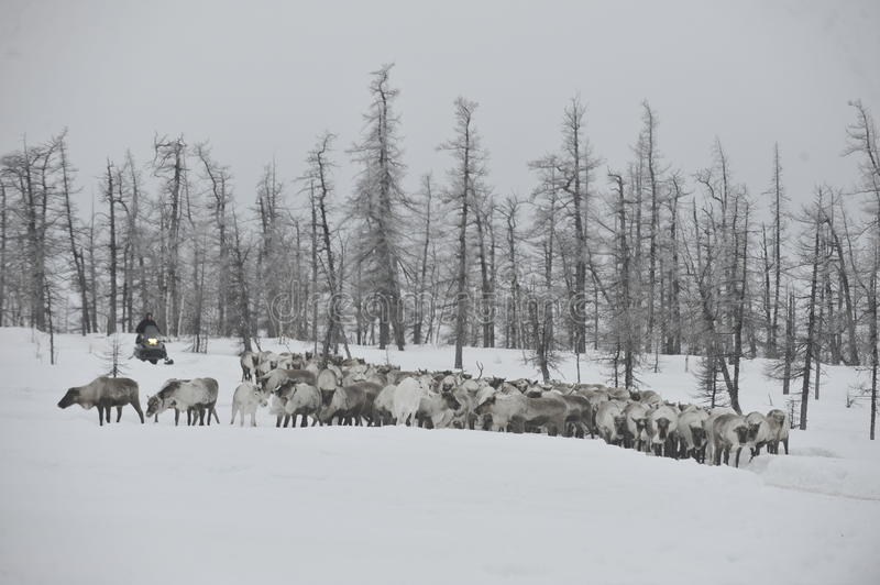 Russian Arctic Aboriginal. Herd of deer in the Russian Arctic. Reindeer graze on the tundra of the Russian North. Arctic Circle. Priuralsky district of Yamal stock images