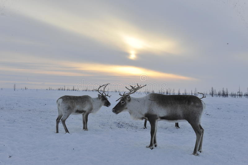 Russian Arctic Aboriginal. Herd of deer in the Russian Arctic. Reindeer graze on the tundra of the Russian North. Arctic Circle. Priuralsky district of Yamal royalty free stock photography