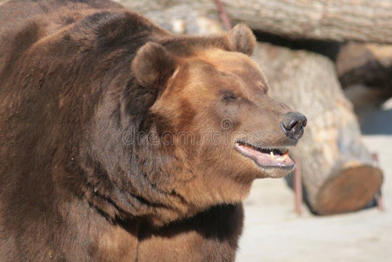 Russian Bear Stock Image