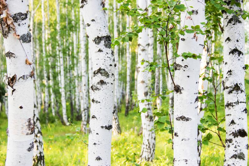 Russian birch forest in summer. stock photos