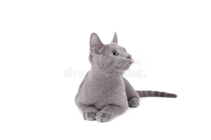 Download Russian Blue Cat stock image. Image of feline, purebred - 10216579