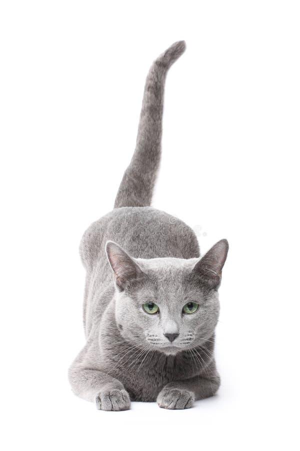 most social cat breeds
