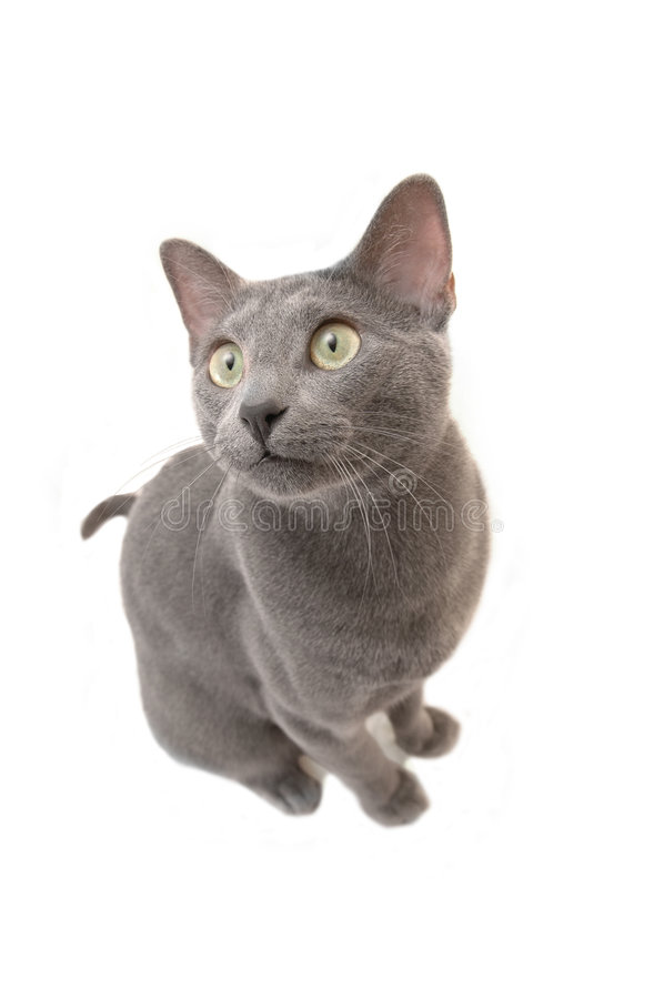 Russian blue cat. Isolated on white stock photography