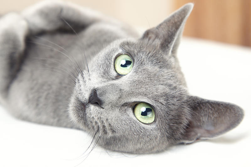 Russian blue cat. Laying indoors and looking up stock photos