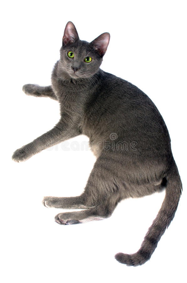 Download Russian Blue cat stock photo. Image of companion, blue - 25771738