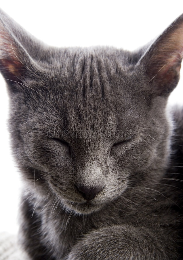 Russian Blue cat. Cat - the small furry animal with four legs and a tail; people often keep cats as pets royalty free stock image