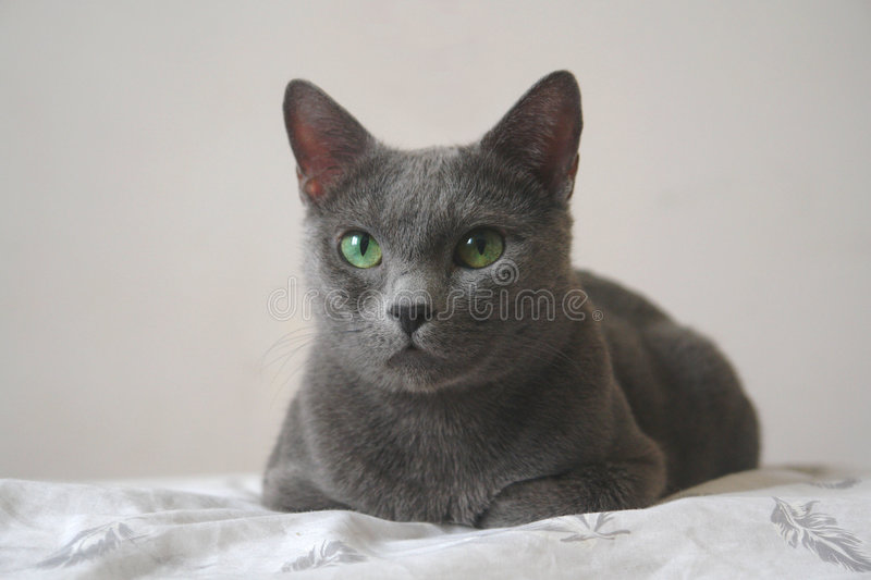 Download Russian Blue Cat Royalty Free Stock Image - Image: 4458436