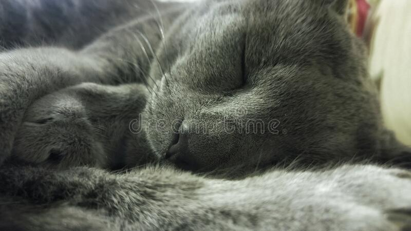 Russian Blue Cat Lying on Textile stock photography