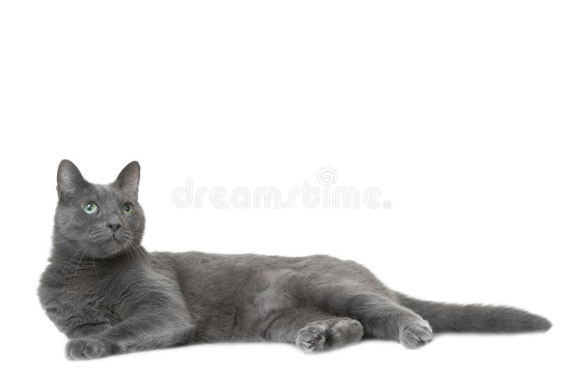 Download Russian Blue Cat Lying On  White Stock Image - Image: 33002375