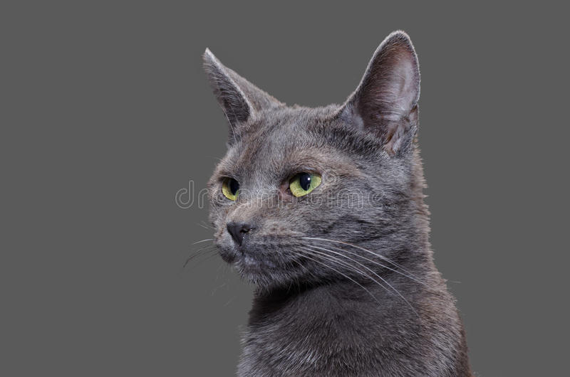 Russian Blue cat portrait with plain gray background royalty free stock image