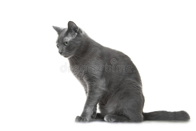 Download Russian Blue Cat Sitting On Isolated White Background Stock Image - Image: 33002519
