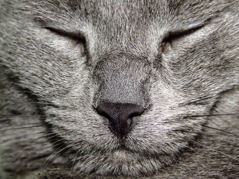 Russian blue cat sleeping stock photos