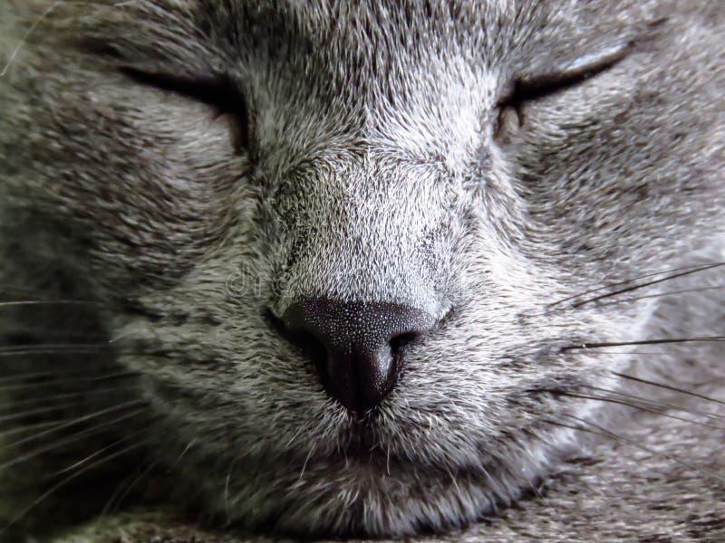 Russian blue cat sleeping royalty free stock image