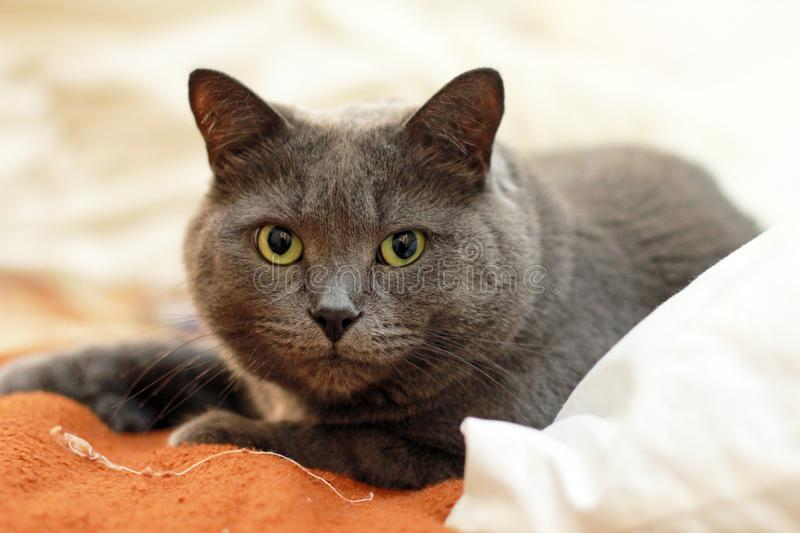 Russian Blue Cat on Top of Orange and White Textile stock images